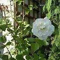 #róze #ogród
