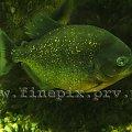 Pirania #zielono #pirania #ryba #rybka #woda #zielone #zoo #Chorzów #zyzio
