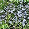 niezapominajki #kwiaty #ogród #roślina #niezapominajki