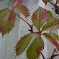 winobluszcz,juz w barwach jesiennych #roślinki #DzikieWino
