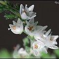 eteryczny i delikatny wrzos jesienny :) #wrzos #makro #rośliny #kwiaty