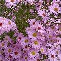 #Marcinki #jesień #kwiaty #ogród
