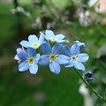 #kwiatki #niezapominajki