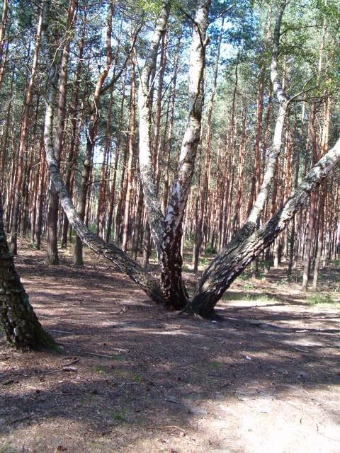 Ośmiornica - brzoza #las #ścieżka #drzewo #brzoza #ośmiornica